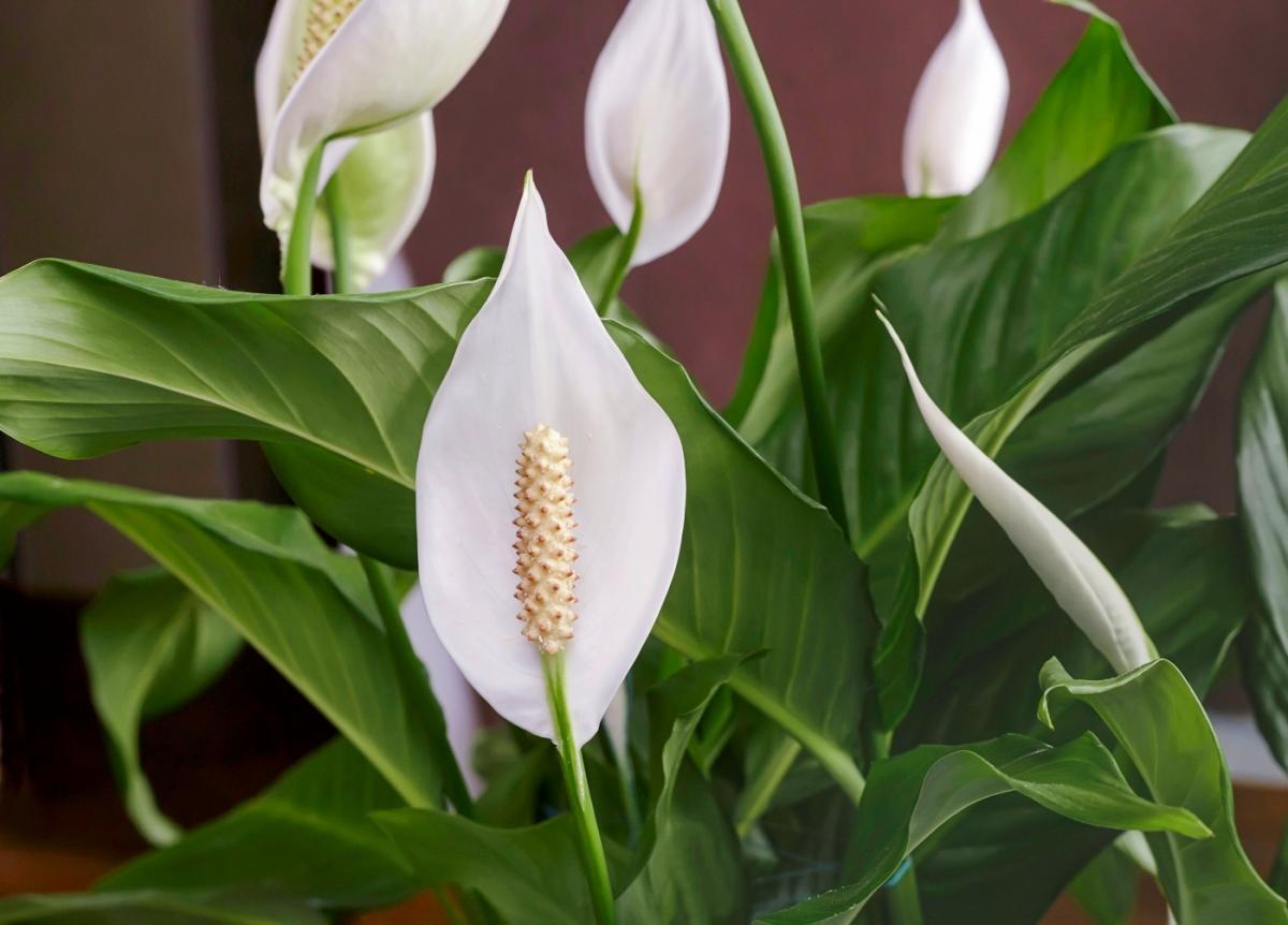 Lys de la paix: comment prendre soin des plantes de lys de la paix (Spathiphyllum)
