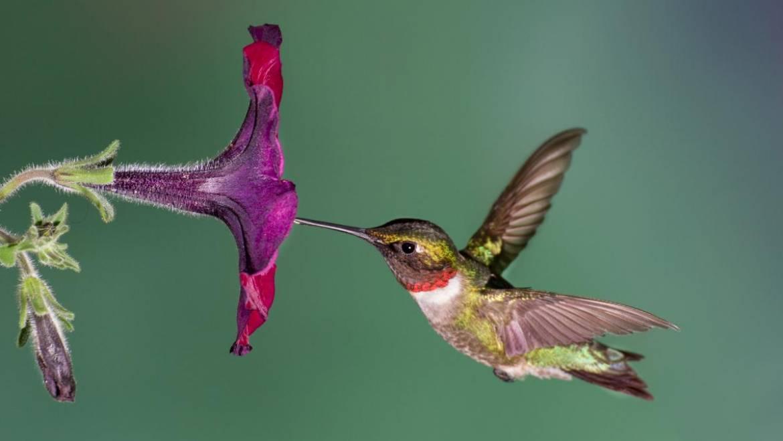 Faits fascinants sur les colibris | Les jardins de Laurent du vieux fermier