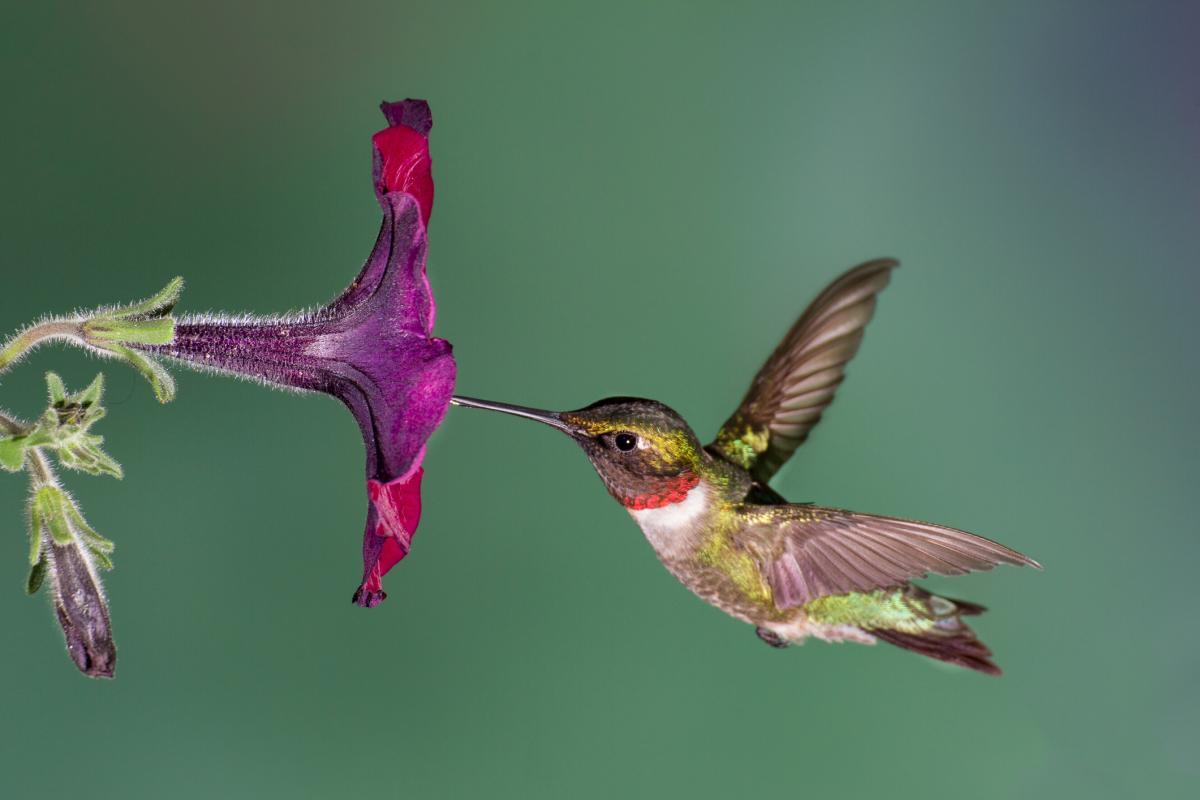 Faits fascinants sur les colibris   Les jardins de Laurent du vieux fermier