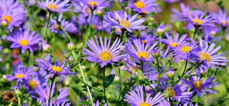 Asters: Comment planter, cultiver et entretenir les fleurs d'aster