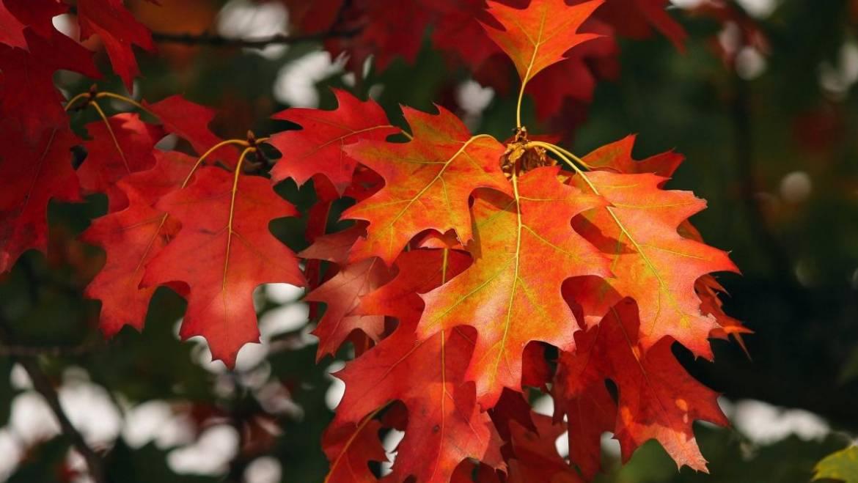 Feuilles d'automne: pourquoi les feuilles changent-elles de couleur à l'automne?