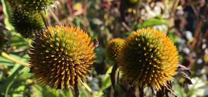 Soins des vivaces d'automne: comment réduire les plantes vivaces