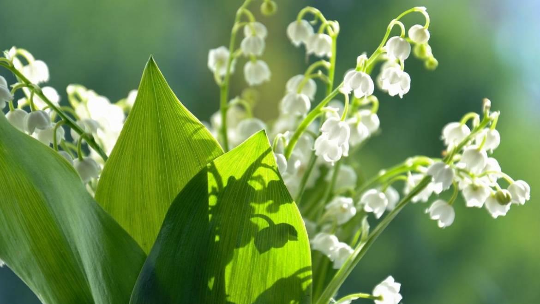 Lily of the Valley: Comment planter, cultiver et entretenir les fleurs du muguet