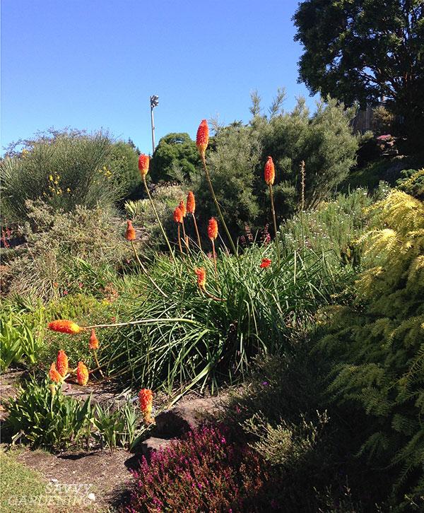 Les lis de torche sont d'excellents exemples de grandes plantes vivaces