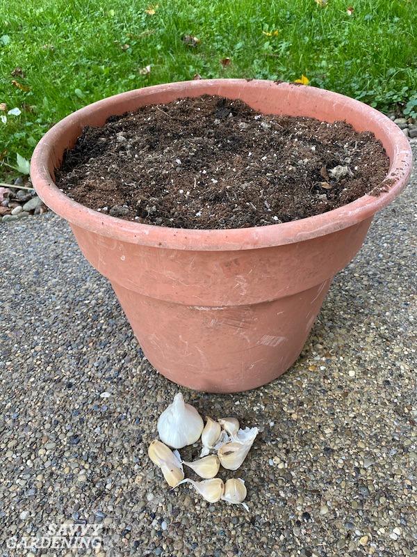Préparez-vous à faire pousser une récolte d'ail sur un patio ou une terrasse avec ces conseils de culture en pot