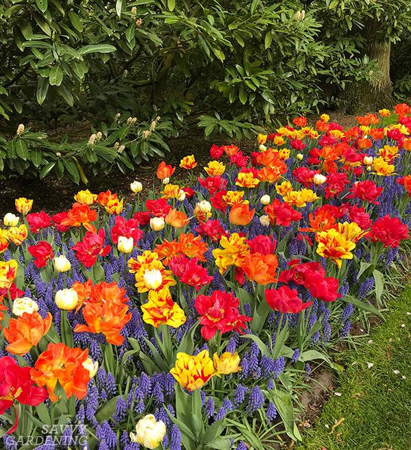 Une bordure d'ampoule plantée de tulipes et de muscari.