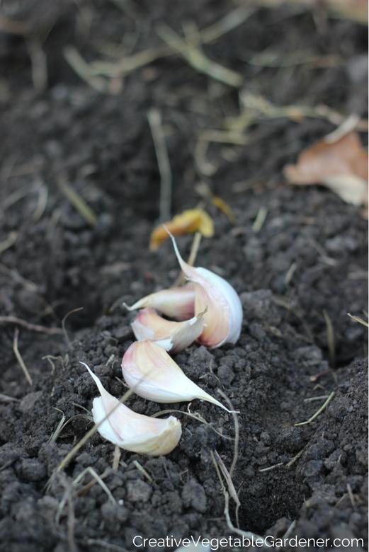 L'ail dans le jardin prêt à être planté