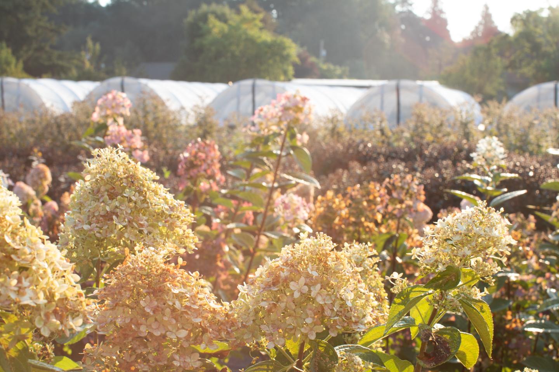 Hortensia fleurit avec des serres en arrière-plan