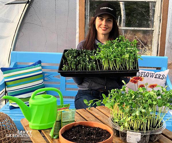 Niki Jabbour plantant des pousses de pois