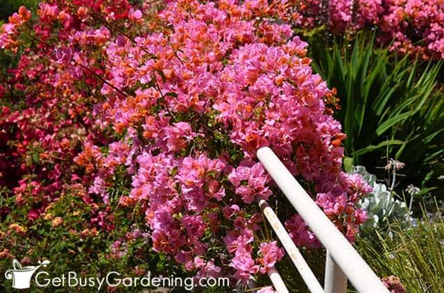 Beau buisson de bougainvilliers couvert de fleurs