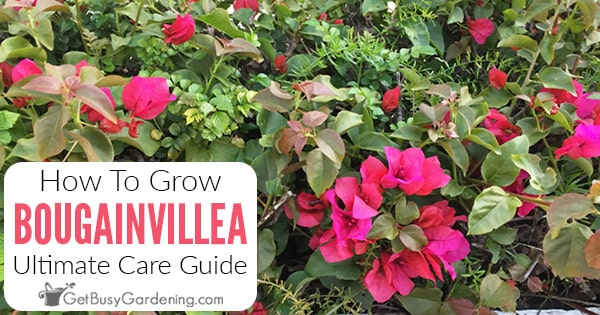 Instructions d'entretien des bougainvilliers et guide de culture complet