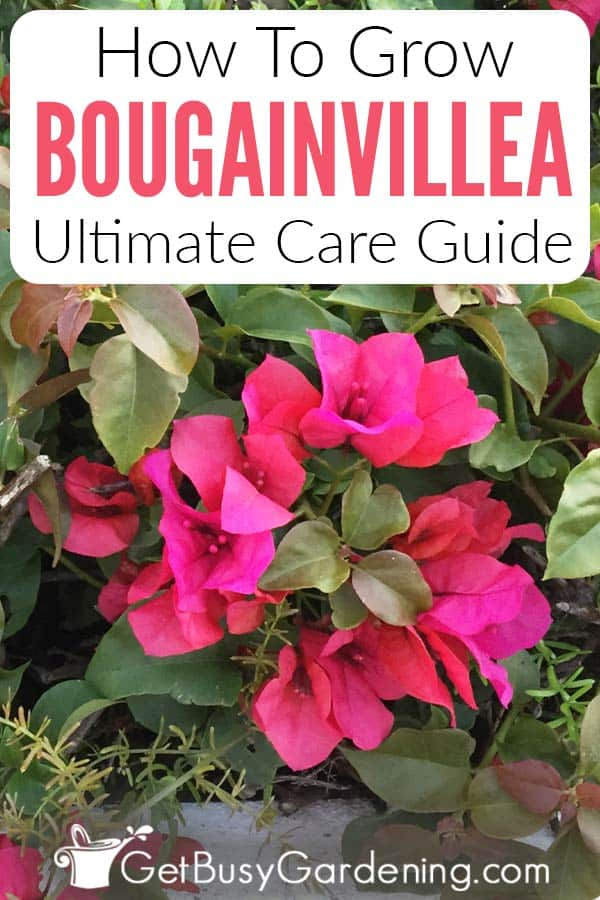 Comment faire pousser Bougainvillea Ultimate Care Guide