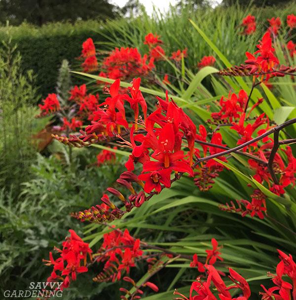 Les fleurs spectaculaires de la crocosmie.
