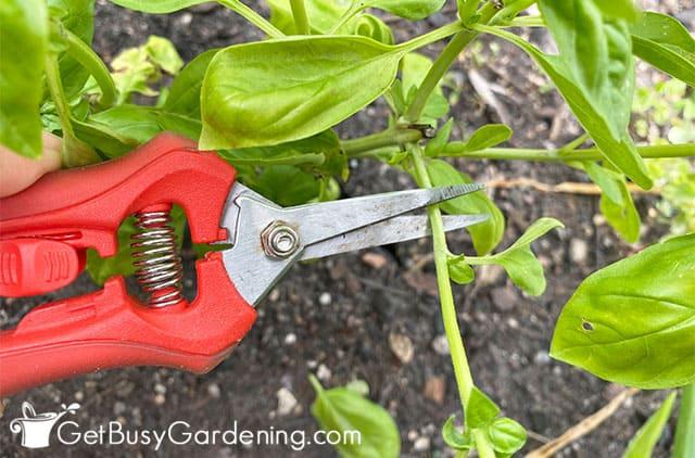 Couper le basilic de la plante