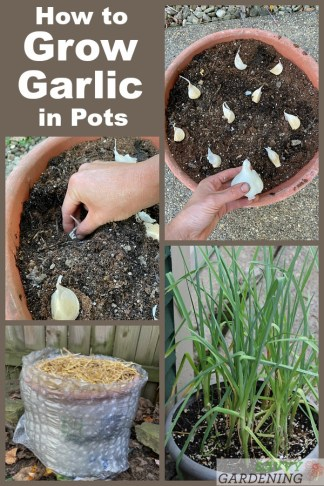 Comment faire pousser de l'ail en pot: la meilleure méthode pour réussir
