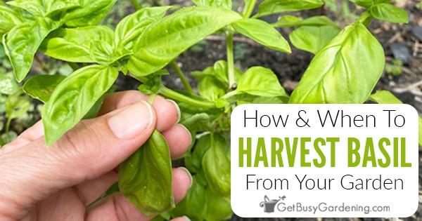 Comment et quand récolter les feuilles de basilic