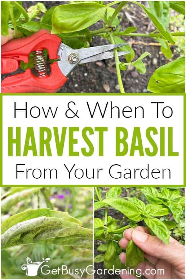 Comment et quand récolter le basilic de votre jardin