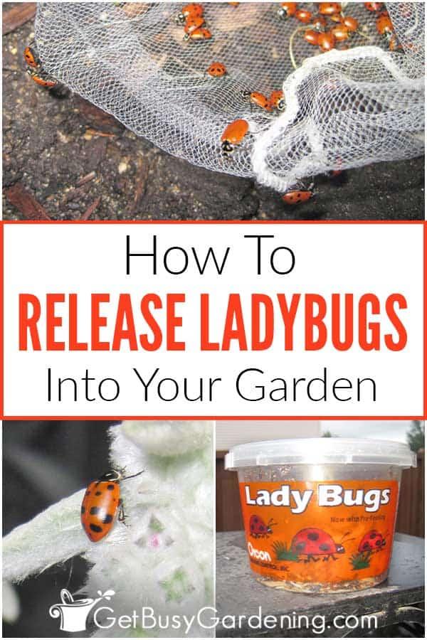 Comment libérer les coccinelles dans votre jardin