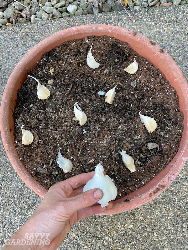 À quelle distance espacer les gousses d'ail dans une plantation en pot