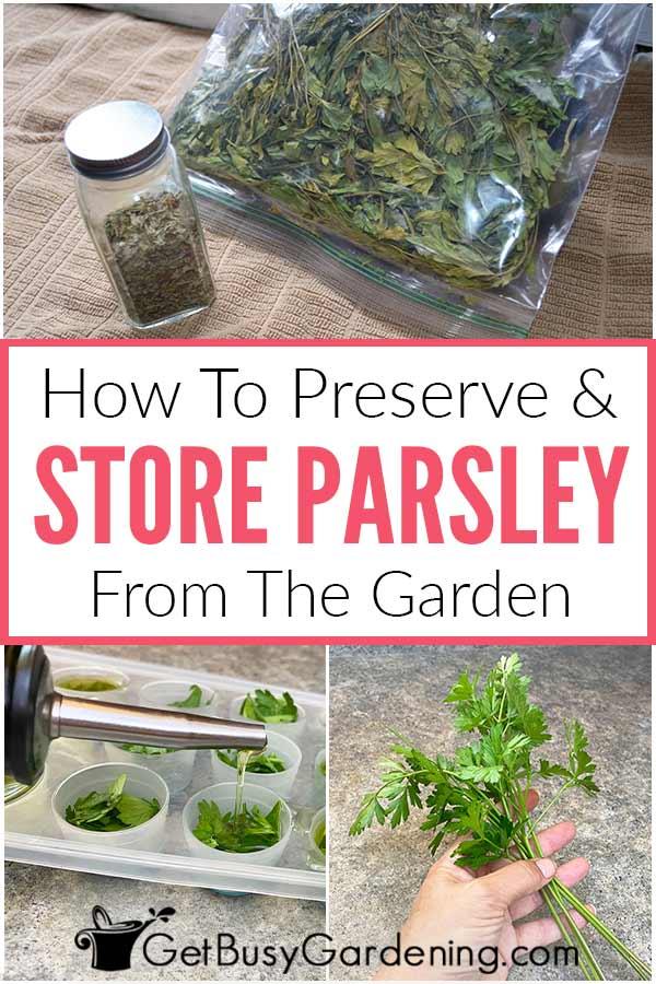Comment conserver et conserver le persil du jardin