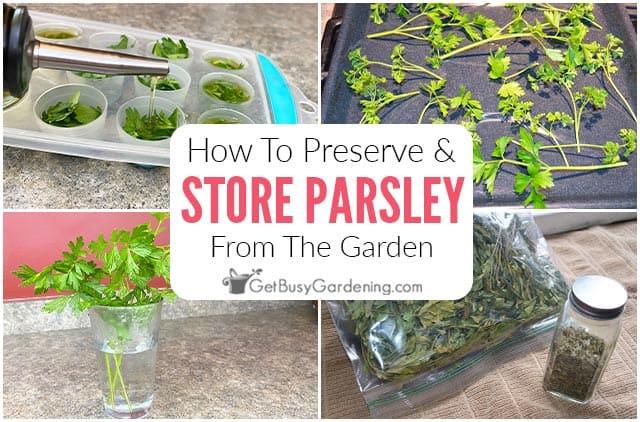 Comment conserver et conserver le persil frais