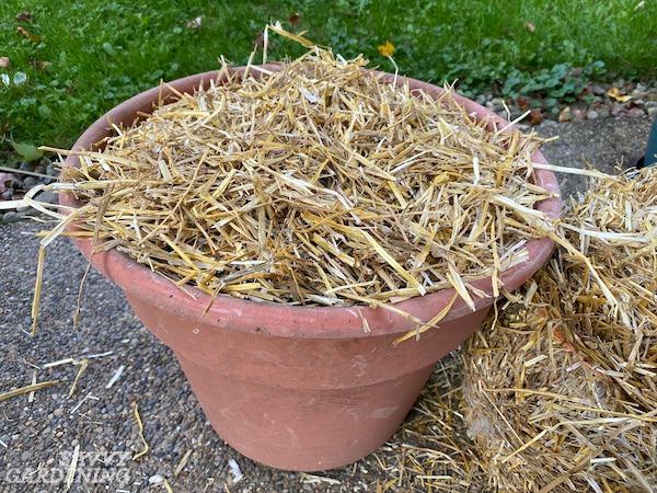Pailler un contenant d'ail nouvellement planté