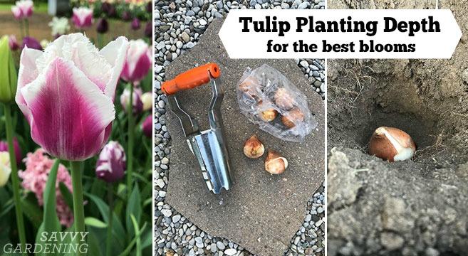 Comment planter vos bulbes de tulipes pour une floraison optimale