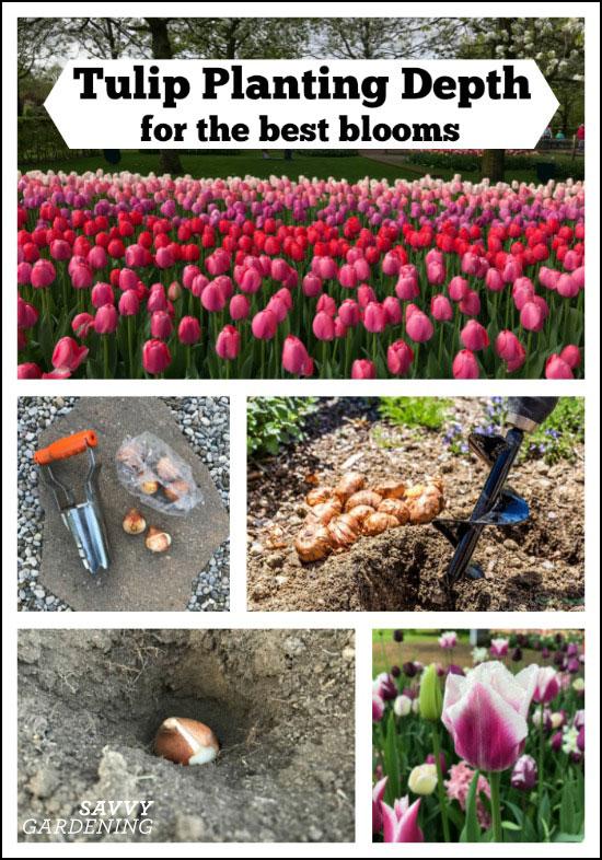 à quelle profondeur devriez-vous planter vos tulipes?