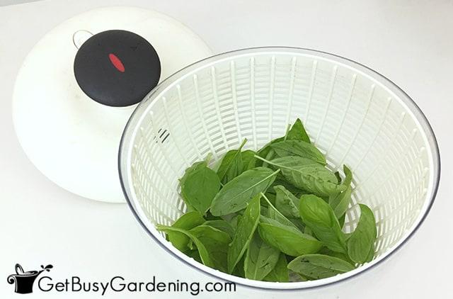 Laver les feuilles de basilic frais