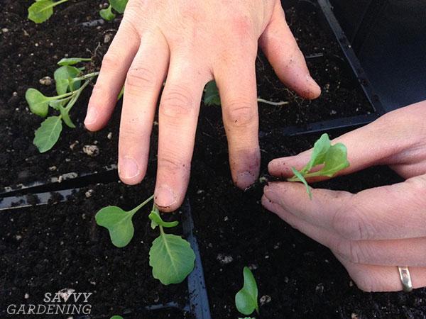 rempoter les plants de chou