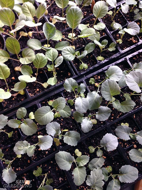 semis prêts à être plantés dans le jardin