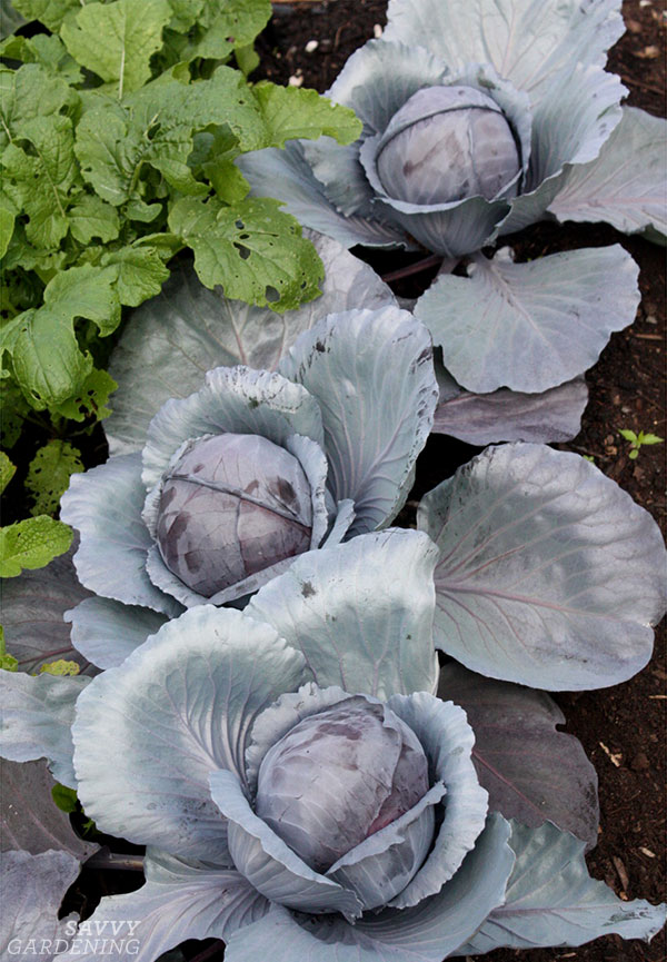 Brassica oleracea dans un jardin