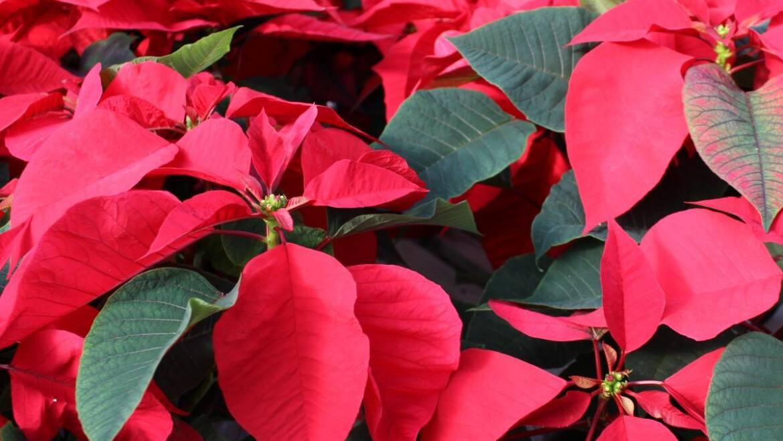 Histoire des fleurs de Noël de poinsettia, soins des plantes, mythe du poison