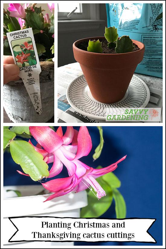 Prendre des boutures de cactus de Noël / Thanksgiving et les enraciner dans le sol