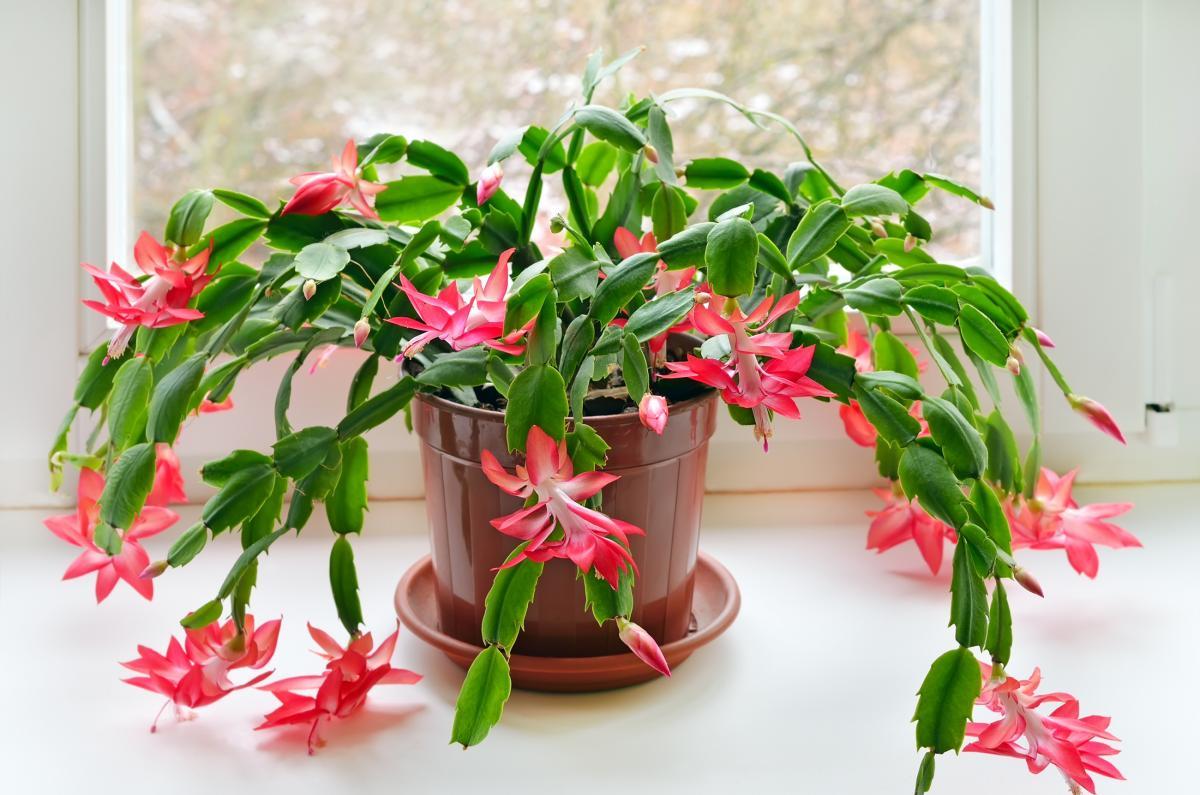 Cactus de Noël: comment prendre soin des cactus de vacances