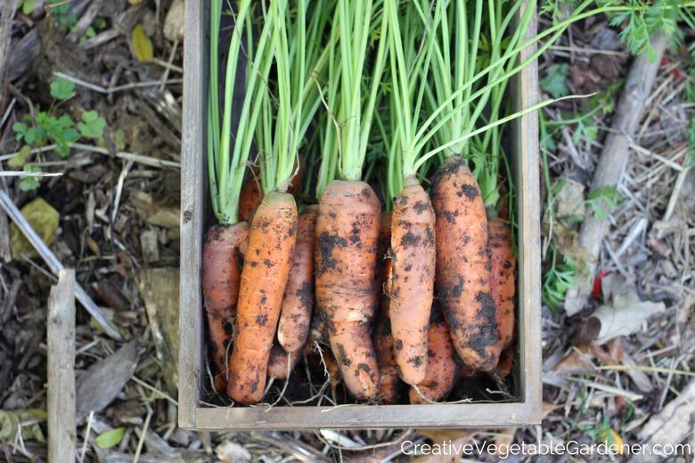 carottes du jardin pour un accompagnement de légumes simple et sain