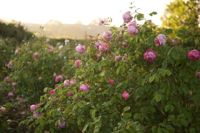 Roses dans le jardin de coupe