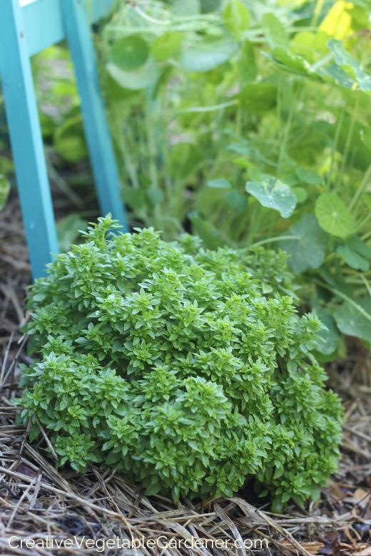 faire pousser du basilic dans le jardin