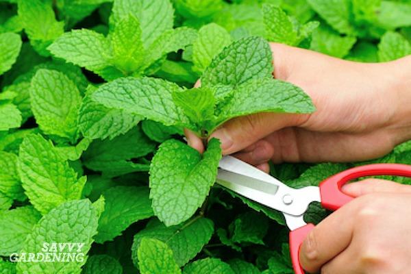 Comment récolter la menthe en pot