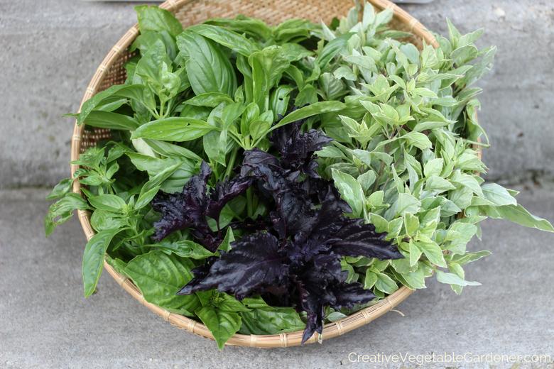 comment faire pousser du basilic dans le jardin