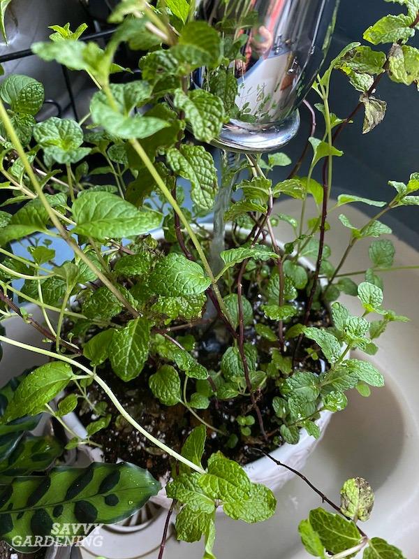 Comment arroser une plante de menthe d'intérieur