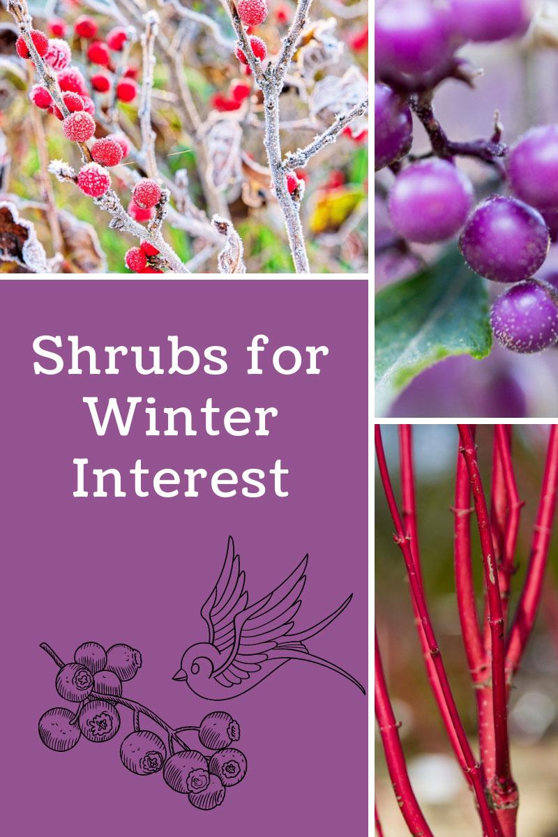 Planter des arbustes avec un intérêt hivernal
