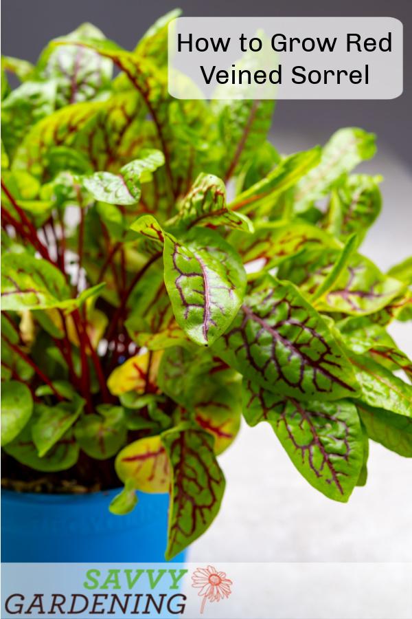 Comment faire pousser de l'oseille veinée rouge