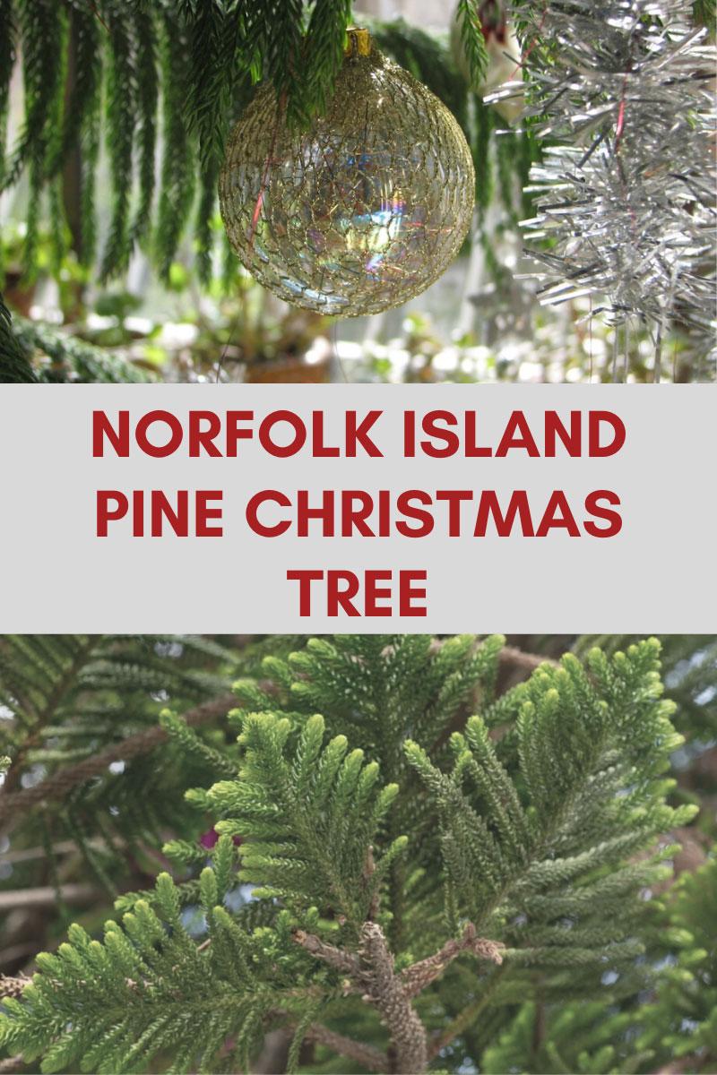 Cultivez vous-même un arbre de Noël en pin de Norfolk