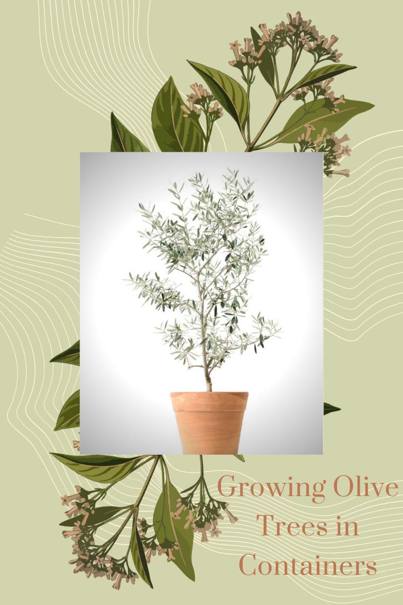 Pourquoi j'aime cultiver des oliviers dans des conteneurs