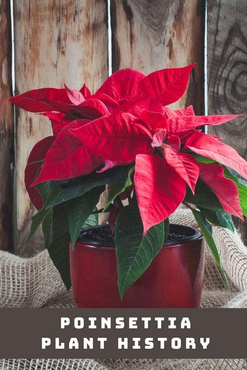 Histoire de l'usine de poinsettia – Pourquoi le poinsettia est-il une plante de Noël