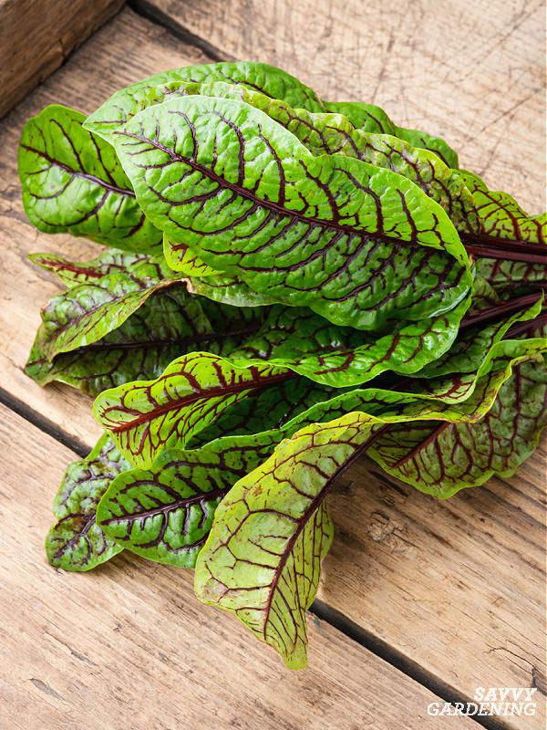 Récolter les salades vertes
