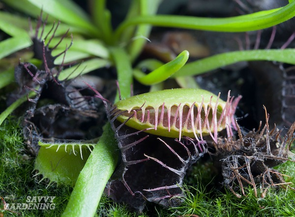 Cultiver des pièges à mouches Vénus
