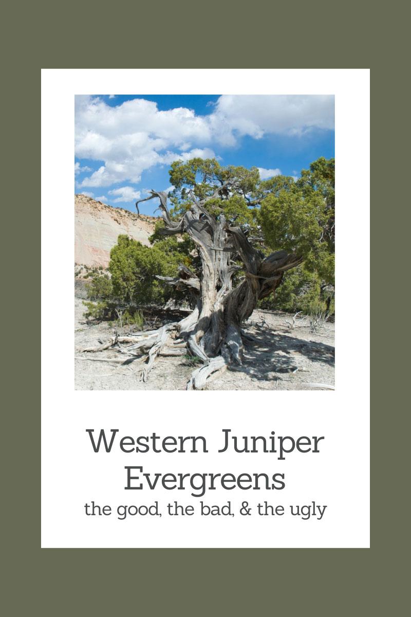 Junipers du haut désert – Certains conifères du jardin sont gênants
