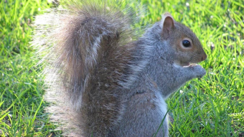 Écureuils: Comment se débarrasser des écureuils dans la maison et le jardin